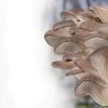 Домашняя вешенка — грибы к Новому году!